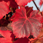 red-vine-leaf-infusion-heart